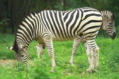 зебра табуна Стоковое Изображение