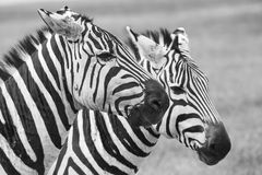 зебра Танзании парка ngoro кратера национальная Африка, Кения Стоковое Фото