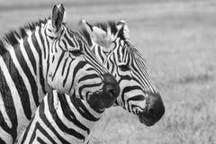 зебра Танзании парка ngoro кратера национальная Африка, Кения Стоковая Фотография RF