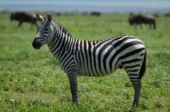 Зебра, Танзания, Африка Стоковая Фотография