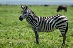 Зебра, Танзания, Африка Стоковые Изображения RF
