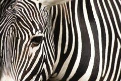 зебра текстуры Стоковые Фото