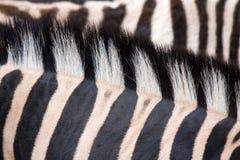 зебра текстуры Стоковые Фотографии RF