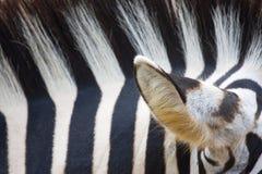 зебра текстуры Стоковые Изображения