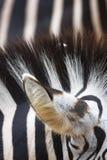 зебра текстуры Стоковое фото RF
