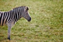 зебра травы поля уединённая Стоковое Изображение