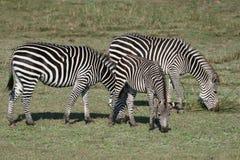 зебра трио стоковые фотографии rf