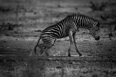 Зебра, чернота & белизна Стоковые Изображения
