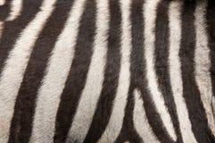 зебра шерсти предпосылки стоковая фотография