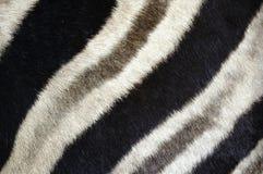 зебра шерсти Стоковое Фото