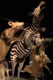 Зебра льва стоковые изображения