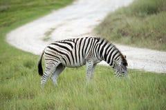 Зебра Южная Африка Burchell Стоковое фото RF