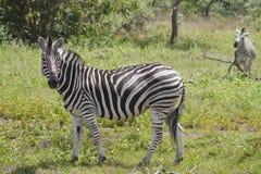 зебра дуо Стоковое Изображение