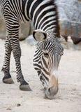 зебра 10 Стоковые Изображения