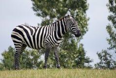 зебра стоковые фотографии rf