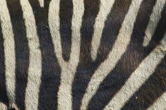 зебра 2 нашивок Стоковая Фотография RF