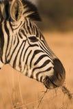 зебра 2 стоковые изображения rf