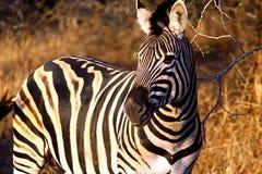 зебра 2 Стоковые Фото