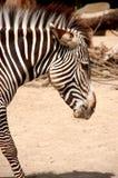 зебра 2 Стоковое Изображение