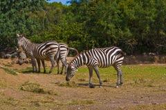 зебра стоковая фотография rf