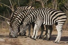 зебра стоковая фотография