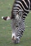 Зебра. Стоковая Фотография RF