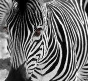 зебра стоковое изображение