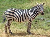 зебра стоковое фото
