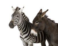 зебра 4 лет осла стоковые изображения
