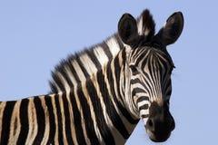 зебра Стоковое фото RF