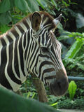 зебра 5 Стоковое Изображение