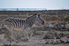 Зебра Burchell в Намибии Африке Стоковые Фотографии RF
