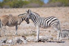 Зебра Burchell в Намибии Африке Стоковое Фото