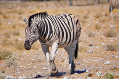 Зебра Burchell в Намибии Африке Стоковая Фотография RF