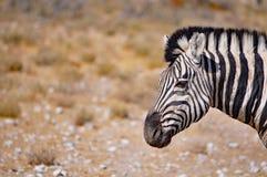 Зебра Burchell в Намибии Африке Стоковые Изображения RF