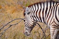 Зебра Burchell в Намибии Африке Стоковая Фотография