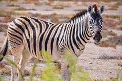 Зебра Burchell в Намибии Африке Стоковое Изображение