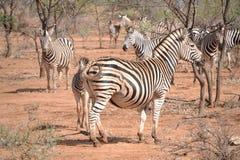 зебра burchell Стоковая Фотография RF