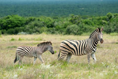 зебра burchell Стоковое Фото