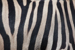 Зебра Burchell (burchellii квагги Equus) безшовная текстура кожи tileable Стоковое Изображение