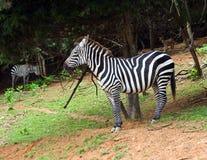 зебра burchell s Стоковые Фотографии RF