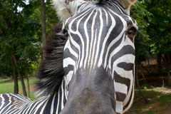 зебра burchell s Стоковое Изображение