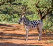 зебра burchell s Стоковая Фотография