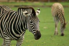 зебра chapmans Стоковое Изображение RF