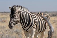 Зебра, Etosha, Намибия Стоковое Фото