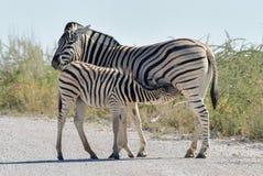 Зебра - Etosha, Намибия Стоковое Фото