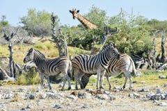 Зебра - Etosha, Намибия Стоковые Изображения RF