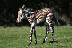 Зебра Grevy осленка зебры стоковая фотография rf
