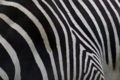 Зебра Grevy, grevyi Equus, оковалок или задняя картина ноги стоковые фото