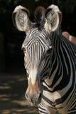 Зебра Grevy (grevyi Equus), также известная как имперская зебра Стоковое фото RF